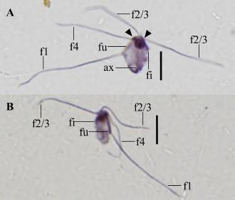 Monocercomonoides exilis strain PA203