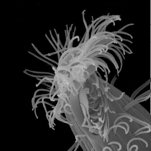 Tropidoatractus ariella