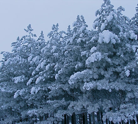 Winter.Pines.Coated.In.White.jpg