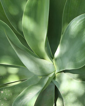 Aloe Leaves