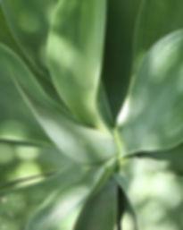 Aloe Leaves