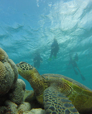 green turtle in lagoon with sea scooter snorkelers