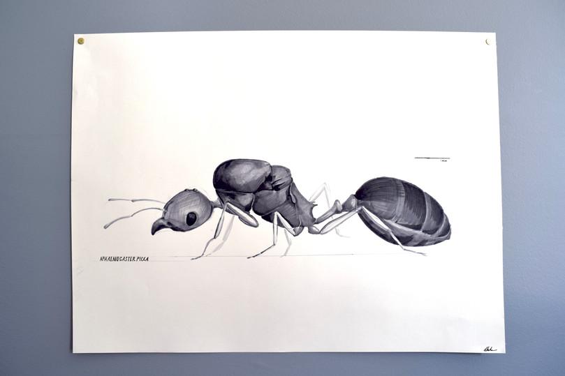Aphaenogaster picea