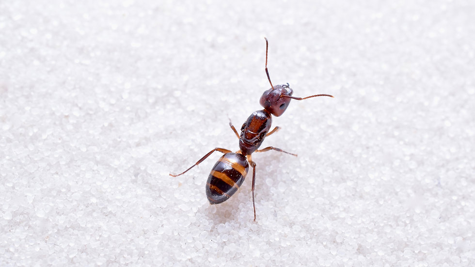 Camponotus subbarbatus