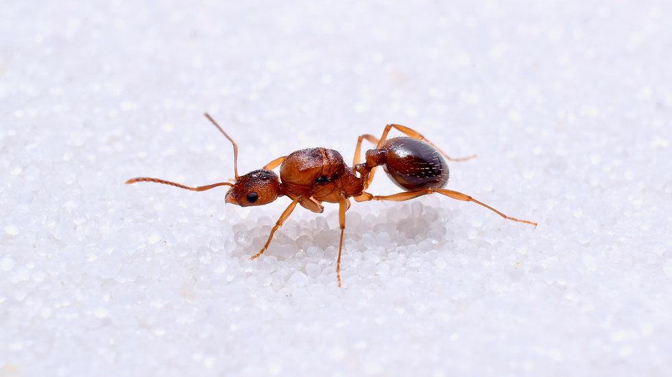 Aphaenogaster carolinensis