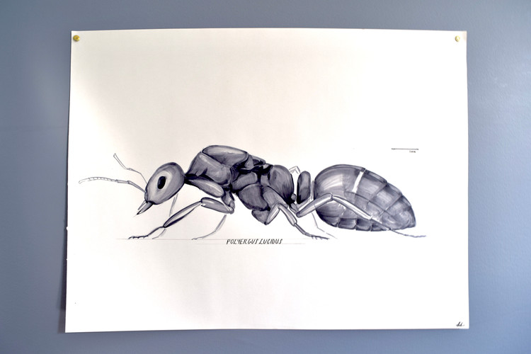 Polyergus lucidus