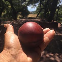 Manzania Shinny Ball