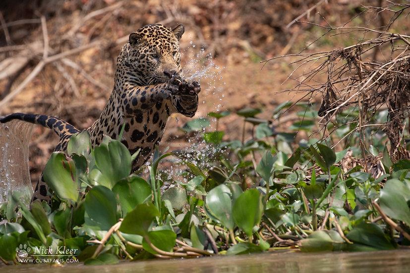 Nick Kleer   Jaguar on the hunt