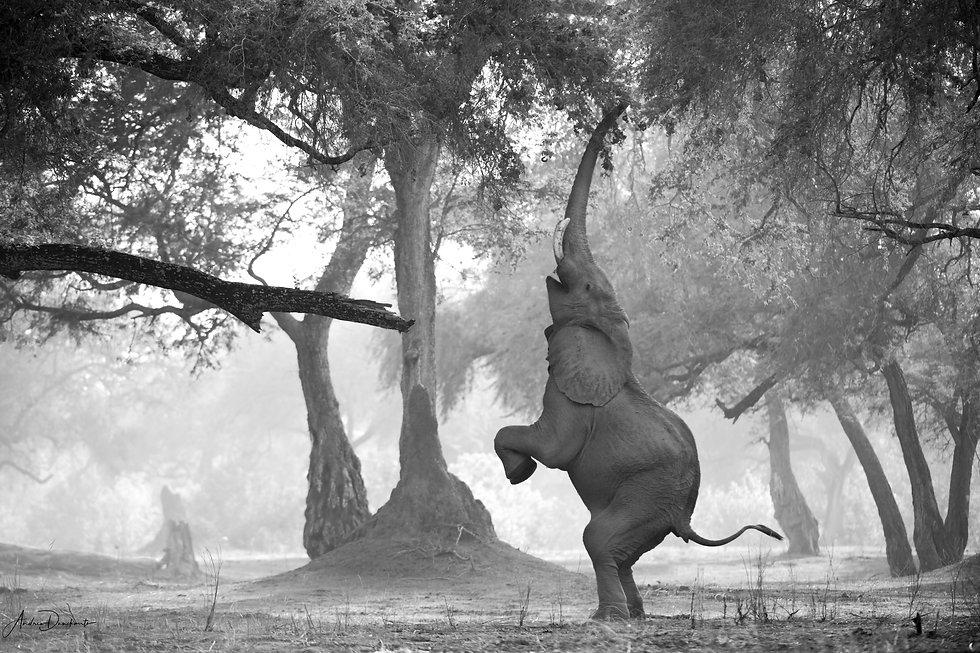 Elephant Mana Pools standing on back legs