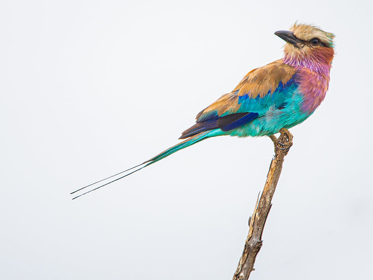 Kyle Lewin | Lilac breasted Roller