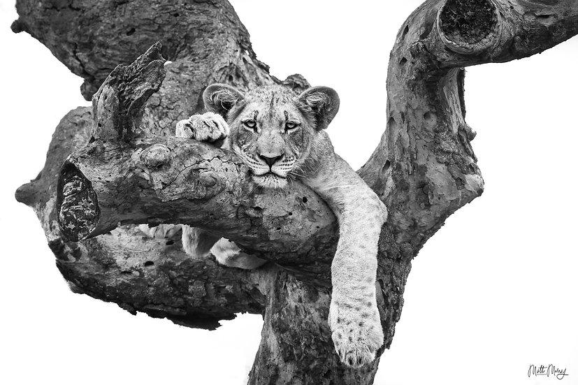 Matthew Murray | Lazy Lion