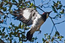 Acorn-Woodpecker-4603