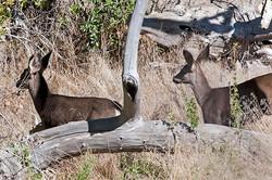 Deer-4628