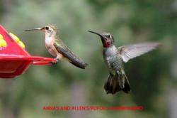 Anna's and Allen's-Rufous Hummingbirds - Idyllwild5 - 9-18-08 copy