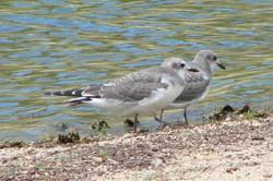 Gulls - Idyllwild1 - 9-18-08 022