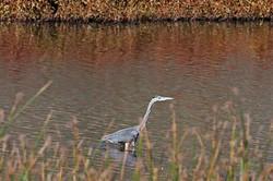 Great-Blue-Heron-4641