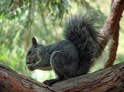 Squirrel - Idyllwild1 - 9-17-08 005