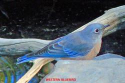 Western Bluebird - Idyllwild5 - 9-16-08 015