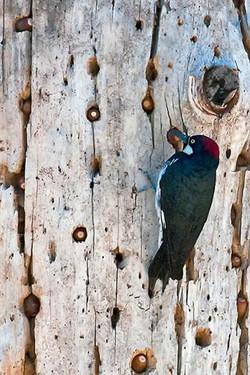 Acorn-Woodpecker-&-Tree-4694