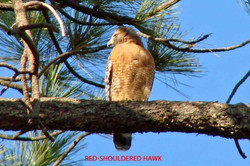 Red-shouldered Hawk - Idyllwild5 - 9-17-08 030 copy