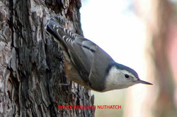 White-breasted Nuthatch - Idyllwild5 - 9-18-08 003 copy