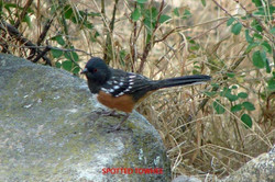 Spotted Towhee - Idyllwild5 - 9-17-08 008 copy