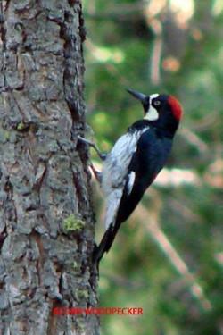 Acorn Woodpecker - Idyllwild6 - 9-17-08 028 copy
