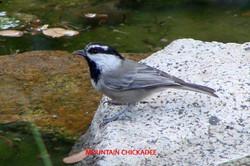 Mountain Chickadee - Idyllwild5 - 9-16-08 001 copy