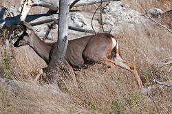 Deer-4621