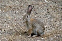 Rabbit - Idyllwild1 - 9-17-08 027 (2)
