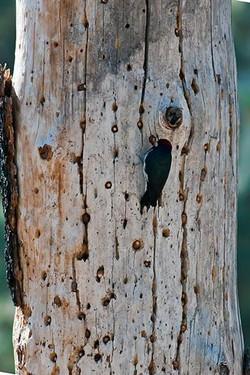 Acorn-Woodpecker-&-Tree-4695
