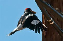 Acorn-Woodpecker-4455
