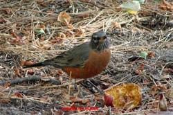 American Robin - Idyllwild5 - 9-16-08 033 copy