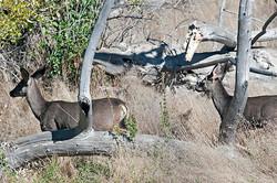 Deer-4624
