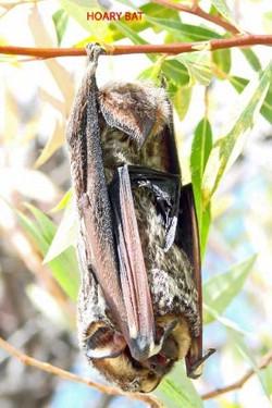 Hoary Bat - Idyllwild6 - 9-18-08 copy
