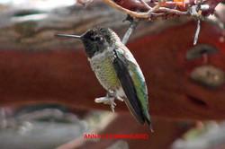 Anna's Hummingbird - Idyllwild5 - 9-18-08 009 copy
