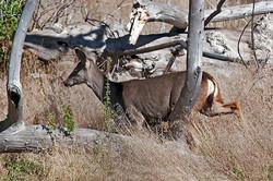 Deer-4622