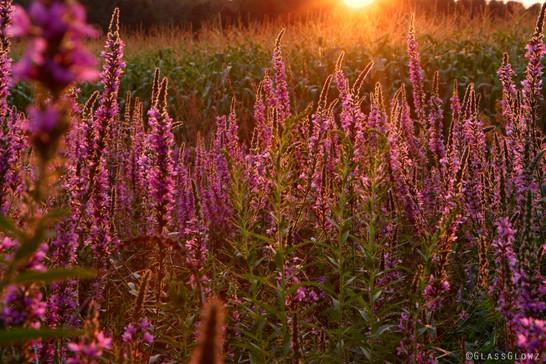 Golden Purple Sunset