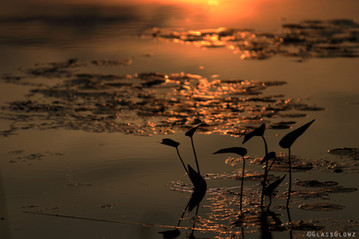 Fitzroy Harbour Sunset - Reflecting Lilly Pads