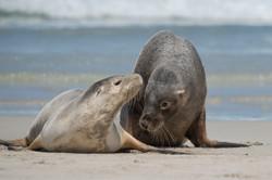 Australia fur seal