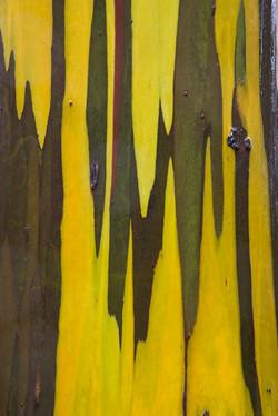 Alpine Yellow Gum