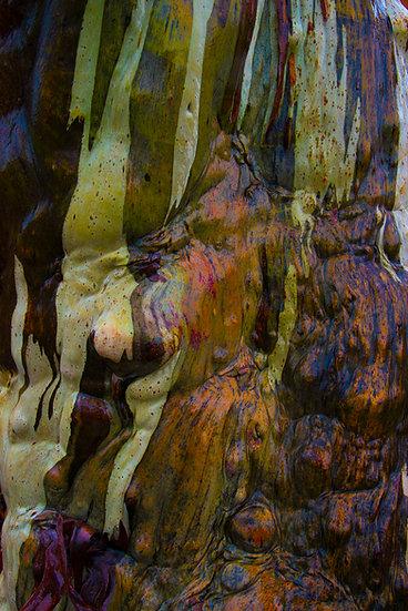 Prints | Wilderness | Tasmanian Snow Gum # 2