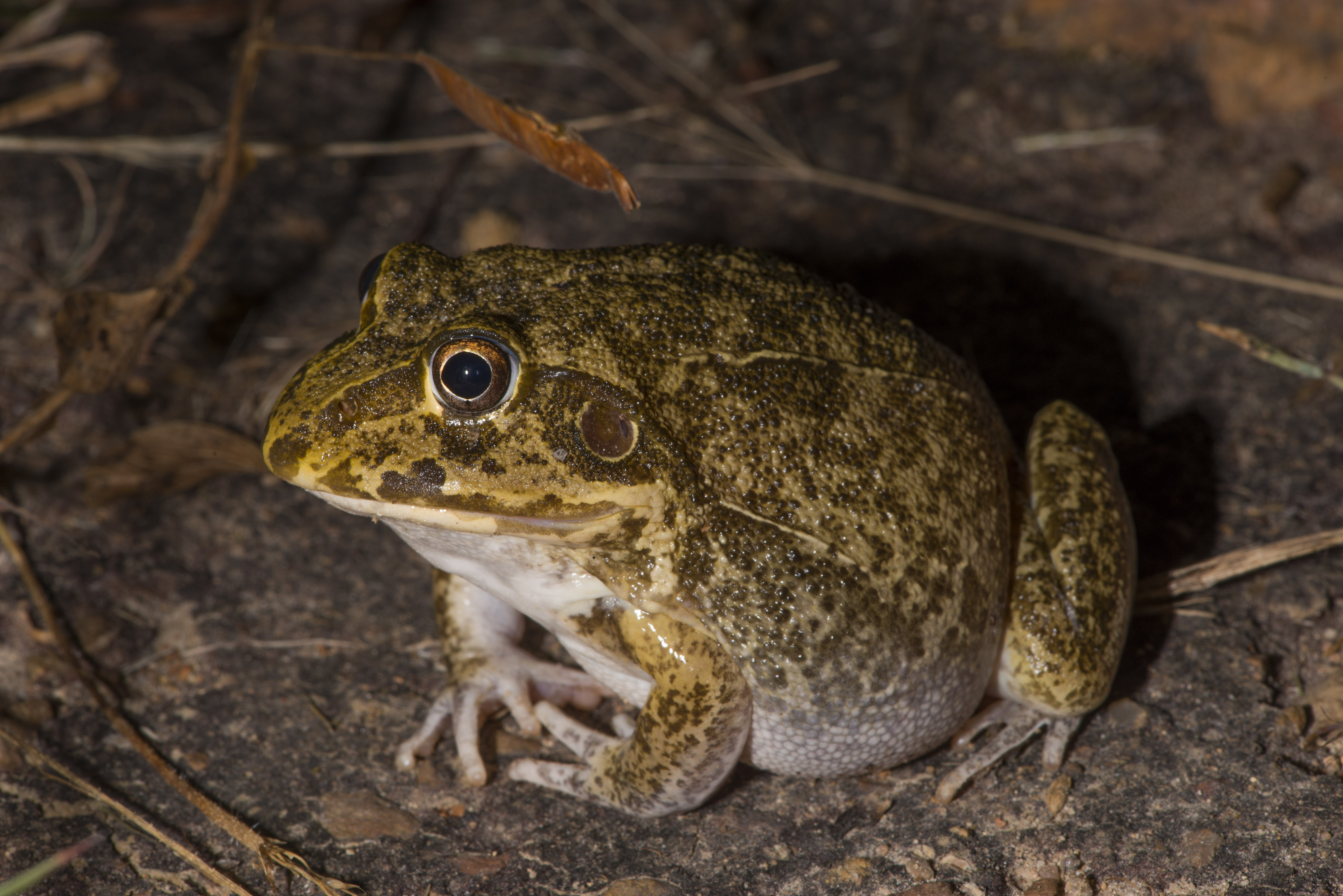 Wide-mouthed Frog