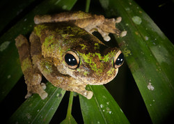 Green-eyed Treefrog
