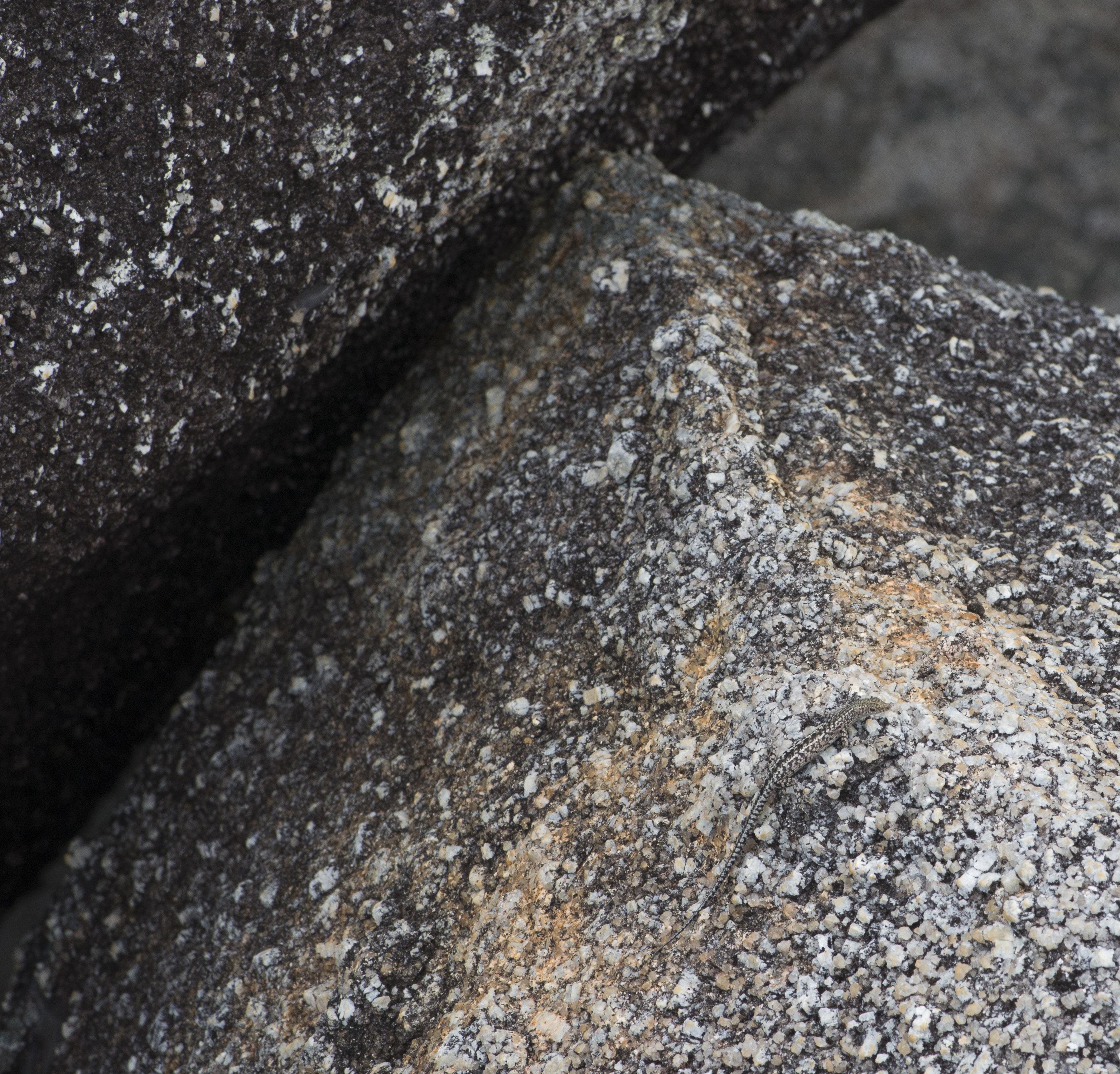 Cape Melville Skink