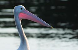 Australia Pelican