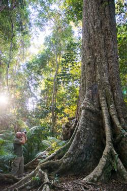 Giant Penda tree
