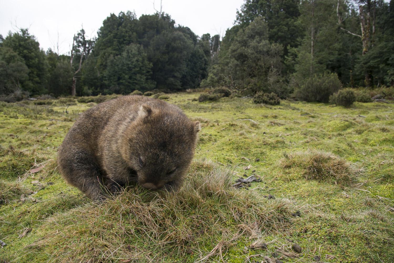 Wombat, Tasmania.