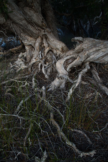 Prints | Wilderness | Paperbark - shores of Lake Boomanjin