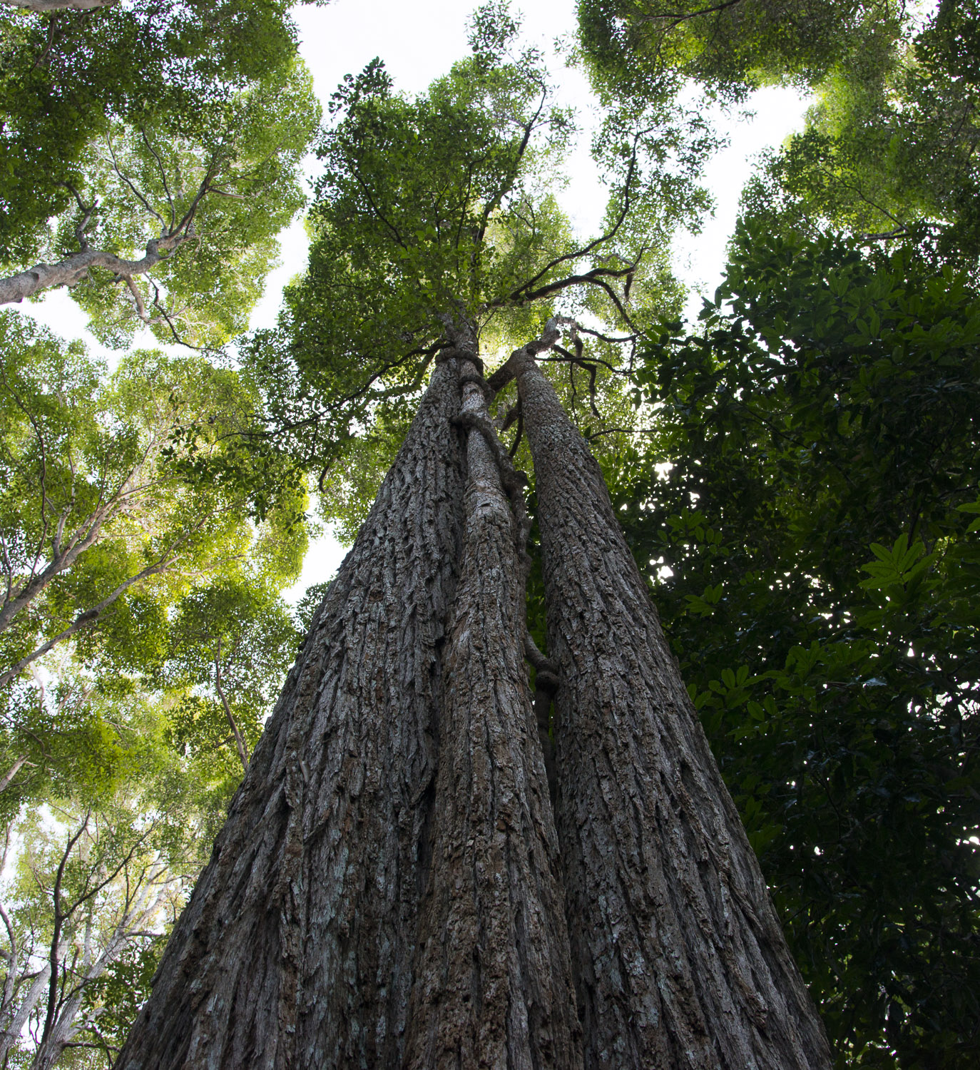 Towering Satinay trees